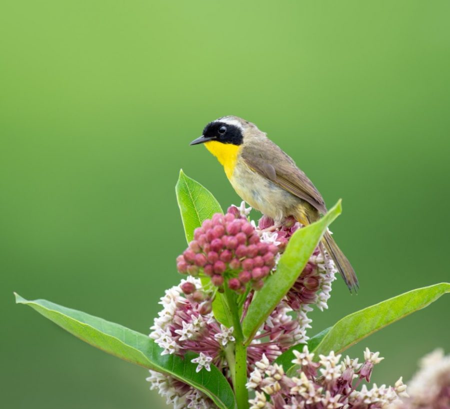 A Common Yellowthroat takes a moment's rest on a Milkweed plant